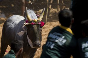 Jallikattu (picture only for representative purpose)